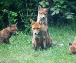 Garden Fox Watch: The pose