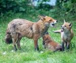 Garden Fox Watch: But MUUUUMMMM....
