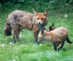 Garden Fox Watch: Running