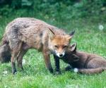 Garden Fox Watch: Listening to gossip