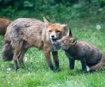 Garden Fox Watch: Nuzzling