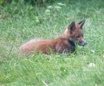 Garden Fox Watch: Not really camouflaged