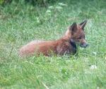 Garden Fox Watch: Not really camouflaged