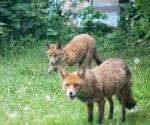 Garden Fox Watch: Tasty nose
