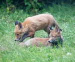 Garden Fox Watch: Pair of cubs