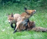 Garden Fox Watch: A think and a scratch