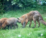 Garden Fox Watch: Grazing foxes