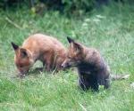 Garden Fox Watch: Intent