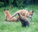 Garden Fox Watch: About to get a surprise