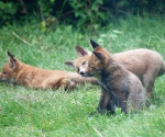 Garden Fox Watch: Licky, licky