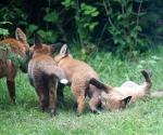 Garden Fox Watch: what about meeee?