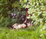 Garden Fox Watch: Blurry belly