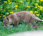 Garden Fox Watch: Checking the pond
