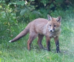 Garden Fox Watch: Alert