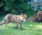 Garden Fox Watch: Mum and the pile of cubs