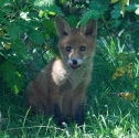 Garden Fox Watch: Tongue 1