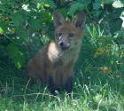 Garden Fox Watch: Tongue 2