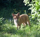 Garden Fox Watch: Enjoying the evening sun