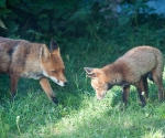 Garden Fox Watch: Mum and cub