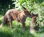Garden Fox Watch: A word in your ear...