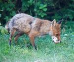 Garden Fox Watch: Just say cheese