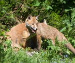 Garden Fox Watch: The amazing two-headed fox