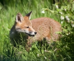 Garden Fox Watch: Making time to chew the grass