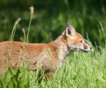 Garden Fox Watch: Profile