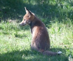 Garden Fox Watch: Thoughtful