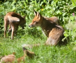 Garden Fox Watch: The family