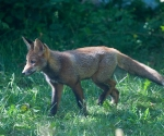 Garden Fox Watch: Intent