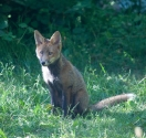 Garden Fox Watch: On a summer's evening