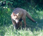 Garden Fox Watch: One above...