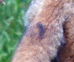 Garden Fox Watch: Tail close-up