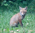 Garden Fox Watch: On the alert