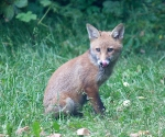 Garden Fox Watch: Training to be Gene Simmons