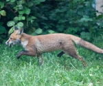 Garden Fox Watch: I have no idea what he's carrying