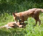 Garden Fox Watch: Don't tread on me