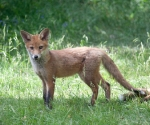 Garden Fox Watch: Study in russet