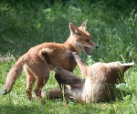 Garden Fox Watch: And this is the spinning leg kick