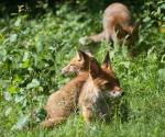 Garden Fox Watch: Mum is a pillow