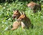 Garden Fox Watch: Gossip