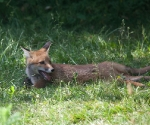 Garden Fox Watch: It's all too much for me