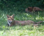 Garden Fox Watch: Flopped fox