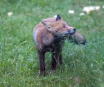 Garden Fox Watch: Fixated