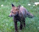 Garden Fox Watch: All the colours of a fox