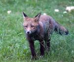 Garden Fox Watch: Staring