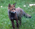 Garden Fox Watch: Such pretty eyes