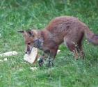 Garden Fox Watch: Bread