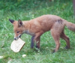 Garden Fox Watch: Making off
